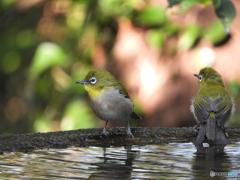 水場の野山の鳥②