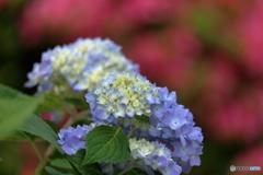 五月の紫陽花3