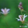 散策路の花 ホトトギス