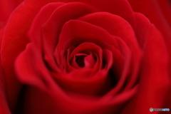 薔薇の園1