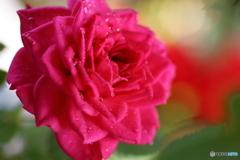 庭のミニ薔薇