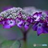 庭の紫陽花①