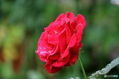 梅雨に咲く2