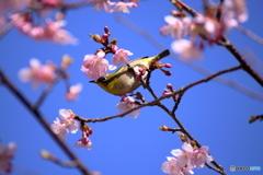 桜ジロー2