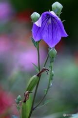 花便り 桔梗