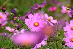 花便り コスモス
