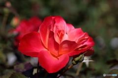 秋の薔薇⑥