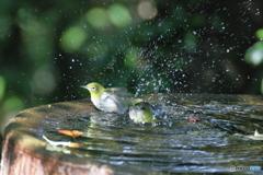 メジロ水浴1