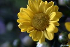 花便り スプレー菊1