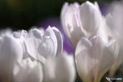 野に咲くクロッカス3