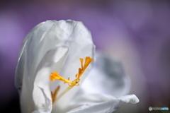 野に咲くクロッカス2