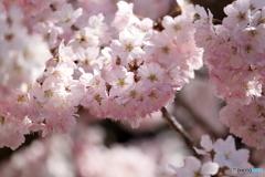 春めき桜②