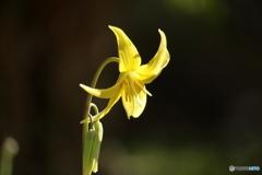 森の花 黄色カタクリ①