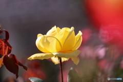 秋の薔薇④