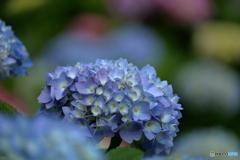 五月の紫陽花2