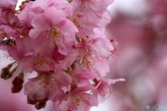 宗仲寺の河津桜3