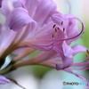 花便り 夏水仙1