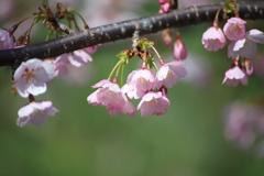花便り 桜