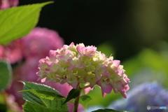 五月の紫陽花4