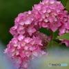 五月の紫陽花1