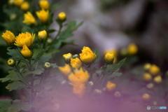 花便り 菊