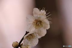 玉縄桜(タマナワザクラ)