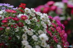 花便り 小菊