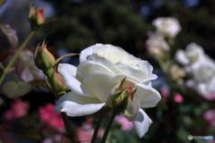 秋の薔薇⑤