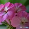 庭の花 ゼラニューム