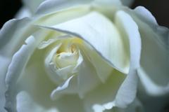 五月の薔薇④