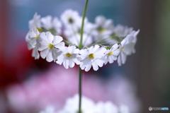 リングの花