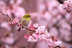 あたみ桜とメジロ②