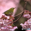 あたみ桜とメジロ③