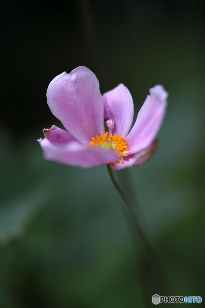 庭に咲く秋明菊