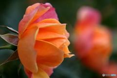 花便り 秋バラ5