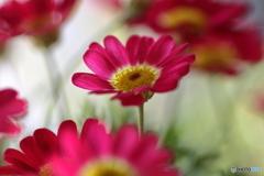 庭の花 マーガレットモリンバ