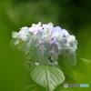 魅惑の紫陽花