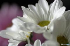 花便り 菊2