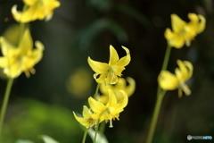 森の花 黄色カタクリ②
