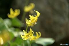 森の花 黄色カタクリ③