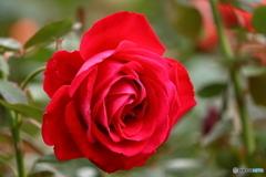 花便り 秋バラ3