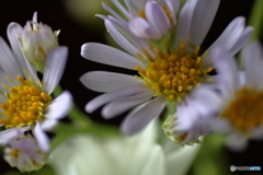 花便り スプレー菊2