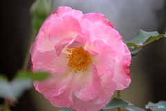 花便り 秋バラ1