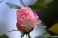 花便り 秋バラ4