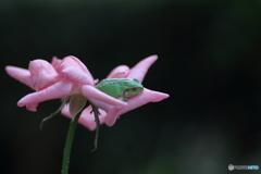 庭のバラ 来客