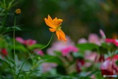 花便り キバナコスモス