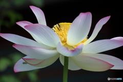 蓮の美しさ3