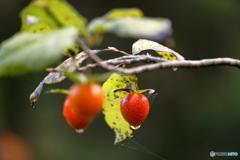ロウヤガキ(老鴉柿)