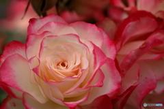 薔薇の園3