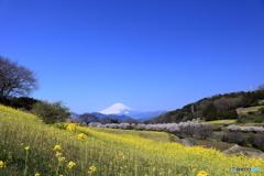 春めき桜と菜の花と富士山